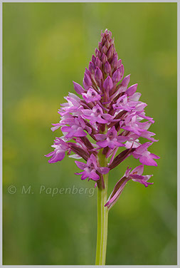 Spitzorchis
